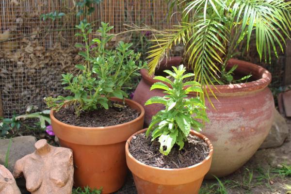 grow stevia plants