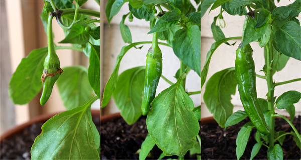 pepper growth