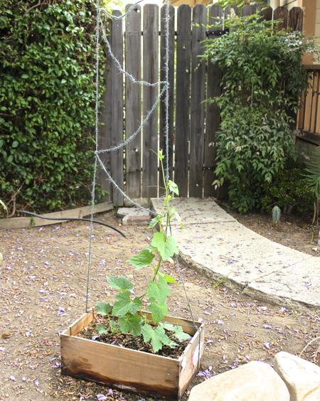 trellis loofah plants