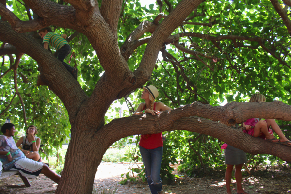 climbing mulberry tree 1