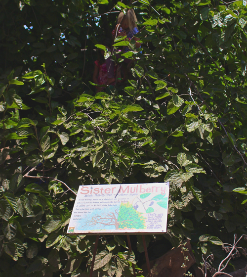 mulberry climbing tree