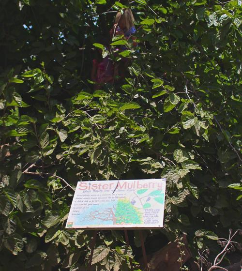 mulberry climbing tree