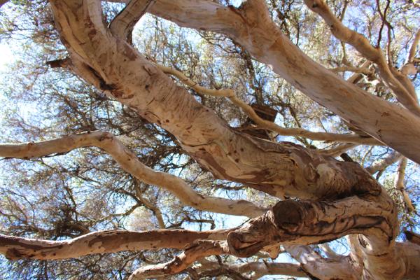 twisty Eucalyptus tree