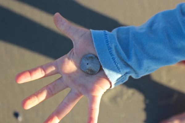 tiny sand dollar