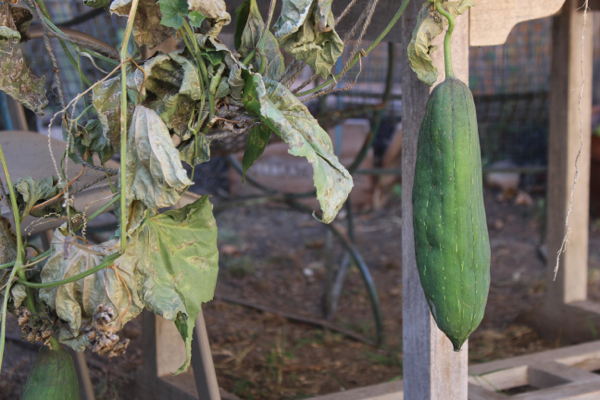 grow luffa at home