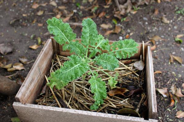 grow veggies in wine boxes