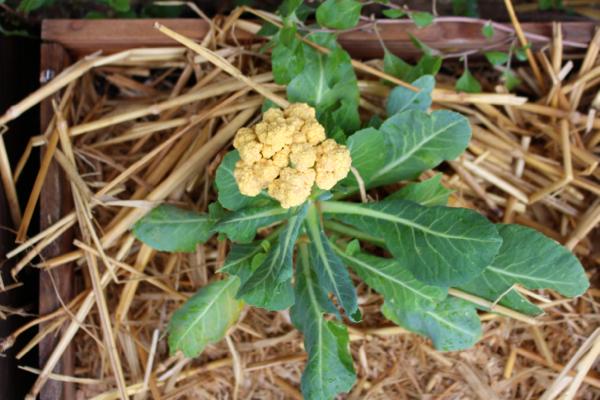 growing orange cauliflower