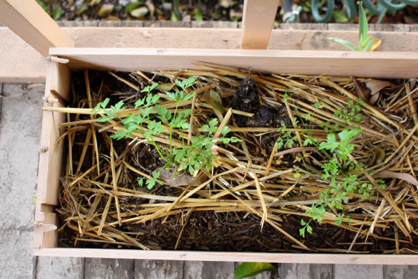 parsley in a wine box
