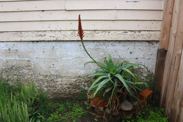 red aloe flower