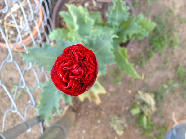 i grew a poppy